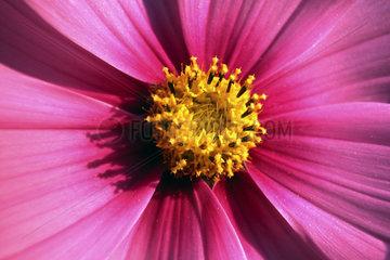 pinke Chrysantheme