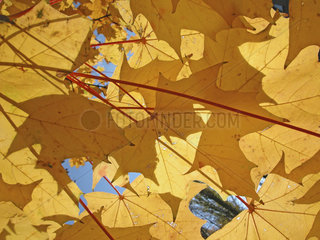 Herbst Ahorn  maple tree with yellow leafs