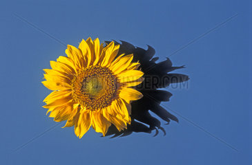 Sonnenblume  Sonnenblumen  sunflower  sunflowers
