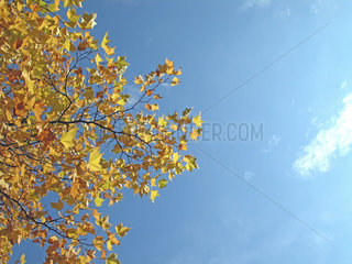 Herbst  Platane mit gelben Blaettern  autumn  plane with yellow leafs