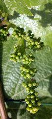 Weinstock mit jungen Trauben  young grapes