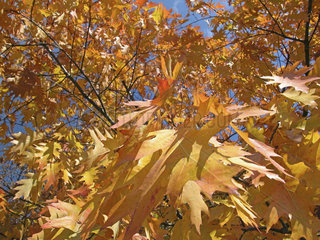Herbst  Platane  plane. autumn tree with yellow leafs