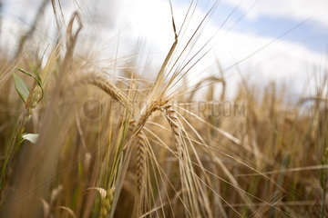 Getreide in der Hallertau
