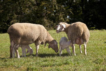 Altmuehltaler Schafe Lamm