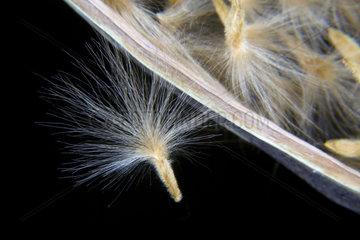 Samen eines Oleander  Nerium oleander