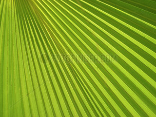 Palmenblatt  palm leaf
