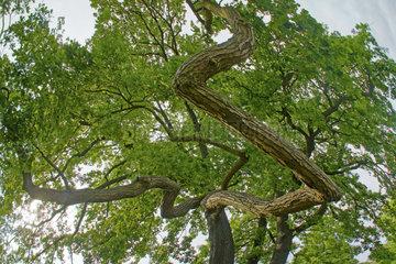 Eiche  oak