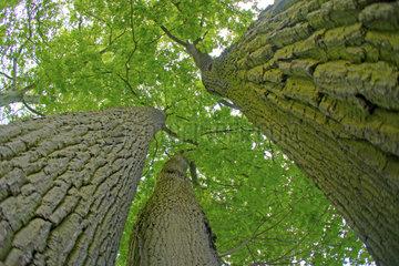 drei Eichen  three oaks
