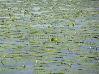 Seerosen  sea lilies