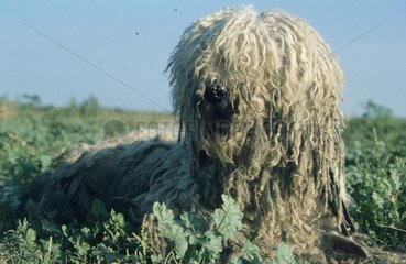 Hirtenhund mit verdecktem Gesicht