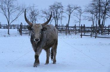 Steppenrind im Winter