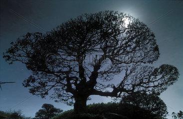 Silhouette eines Baumes im Mondlicht