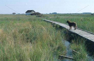 Hund steht auf einem Steg in einer Sumpflandschaft