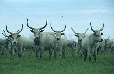 Herde Steppenrinder