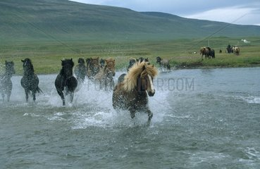 Pferde durchqueren Fluss
