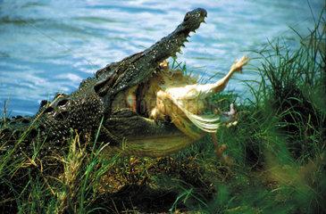 Krokodil frisst Vogel