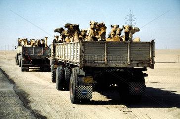 Kamele werden auf Lastwagen transportiert