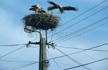 Storchennest auf einem Strommast