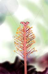 Bluetenstengel eines Hibiskus  Hibiscus