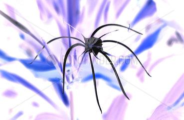 Spinnenlilie  Schoenhaeutchen  Hymenocallis festalis