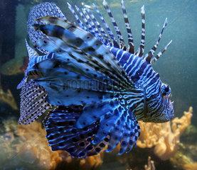 Bremen  Deutschland  Indischer Rotfeuerfisch in einem Aquarium