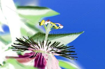 Passionsblume  Passiflora  passion flower in bloom
