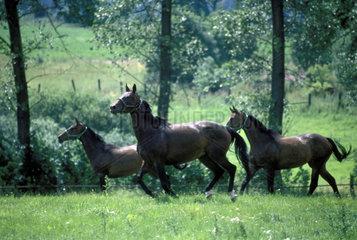 Pferde laufen auf einer Wiese