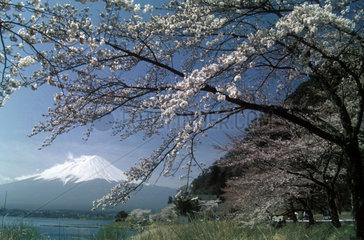 Kirschbluete vor Fuji-Panorama
