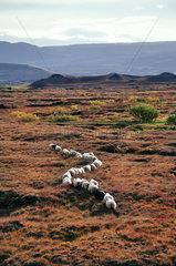 Schafe in der Landschaft von Island