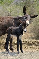 Esel in Szwasiland