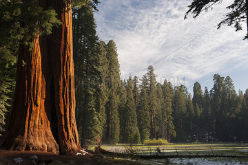 Giant sequoia trees  Sequoia and Kings Canyon National Parks  California  USA