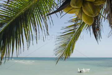 Coconuts ripening on palm tree at beach