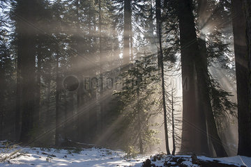 Sunlight shining through forest  Sequoia National Park  California  USA