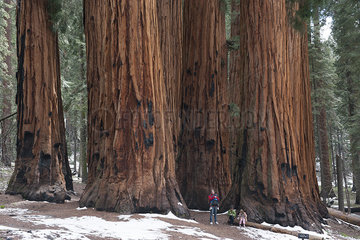 Family standing in front of giant sequoias  Sequoia and Kings Canyon National Parks  California  USA