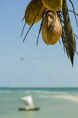 Coconuts hanging from palm at beach