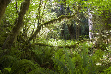 Lush foliage and moss covered trees in Olympic National Park  Washington  USA