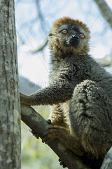 Lemur on tree branch