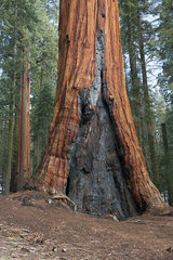 Old sequioa tree scarred by forest fire  Sequoia and Kings Canyon National Parks  California  USA