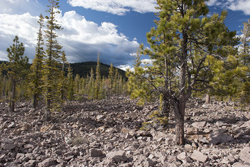 Evergreen trees growing in volcanic rock  Lassen Volcanic National Park  California  USA