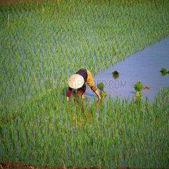Reisbauerin bei der Arbeit auf dem Feld