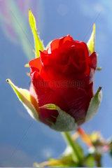 Eine noch nicht ganz aufgegangene Bluete einer roten Rose