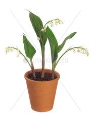 Maigloeckchen  Convallaria majalis  European lily-of-the-valley