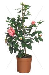 Japanische Kamelie  Kamelie  Camellia japonica  Japanese camellia