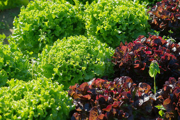 Lettuces growing in garden