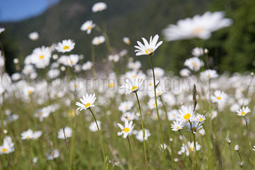 Wild daisies  Olympic National Park  Washington  USA