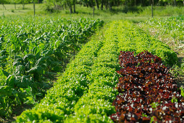 Lettuces growing on farm