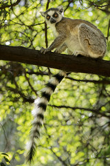 Ring-tailed lemur sitting on tree branch