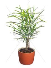 Wunderstrauch  Kroton  Croton (var. pictum)  Codiaeum variegatum var. pictum  Croton