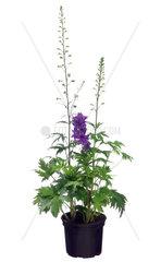 Rittersporn  Delphinium  larkspur
