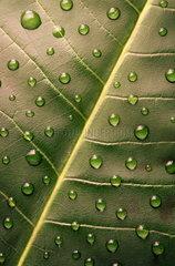 Wassertropfen auf einem Blatt einer Zimmerpflanze
